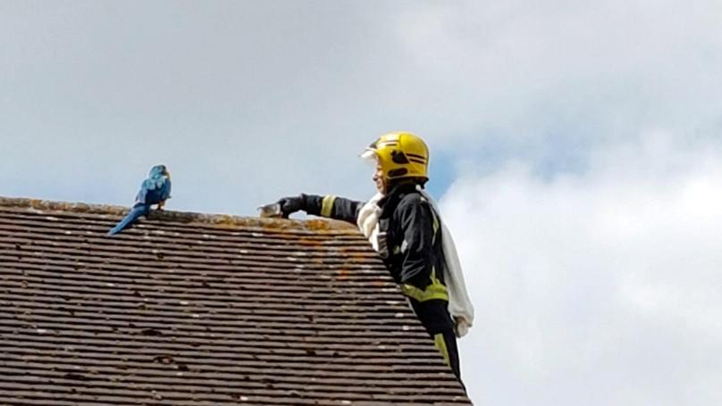 """Photo of El loro atrapado en el techo sigue diciendo al equipo de bomberos """"F ** k Off"""""""