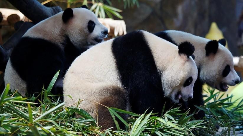 Photo of Una niña cae al hábitat de los pandas en un zoológico chino