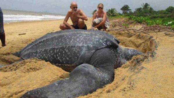 Photo of Tortuga marina más grande del mundo anida en República Dominicana