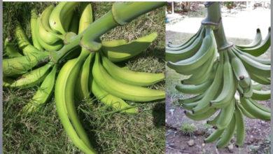 Photo of En Mao se roban 1,200 racimo de plátano de una finca