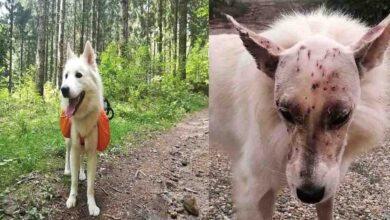 Photo of perra sobrevive a mas de 40 disparo en la cabeza