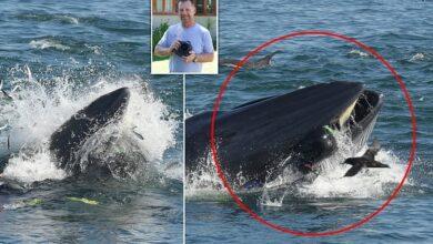 Photo of una ballena se traga a un hombre y lo escupe con vida