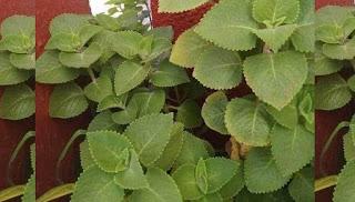 Photo of Los usos medicinales del Orégano Poleo